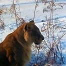 Lioness at Siberian Tiger Park