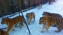 Siberian Tiger Park Harbin
